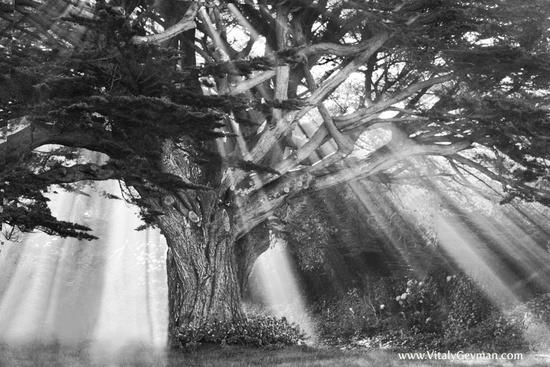 236_moses_tree_b_w-w550h550
