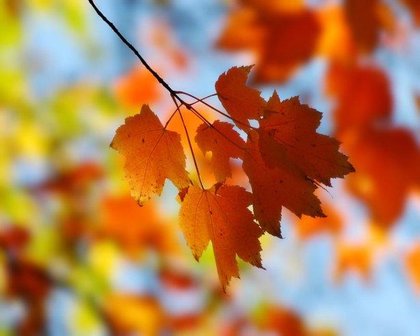 fall-maple-leaf-3